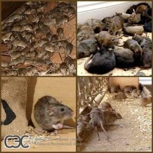 Как вывести крыс из сарая: народные средства, применение химикатов и другие способы избавиться от грызунов