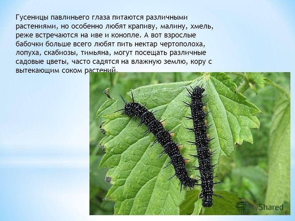 Бабочка ночной павлиний глаз или павлиноглазка грушевая — поясняем по порядку