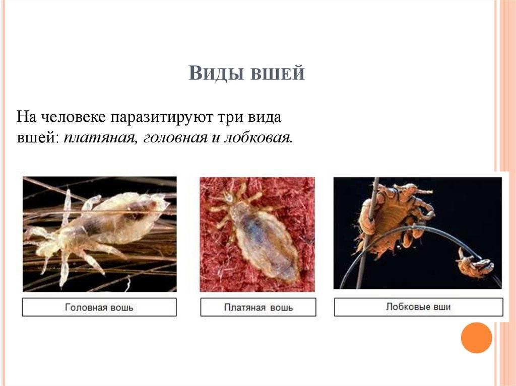 Всё о вшах как насекомых