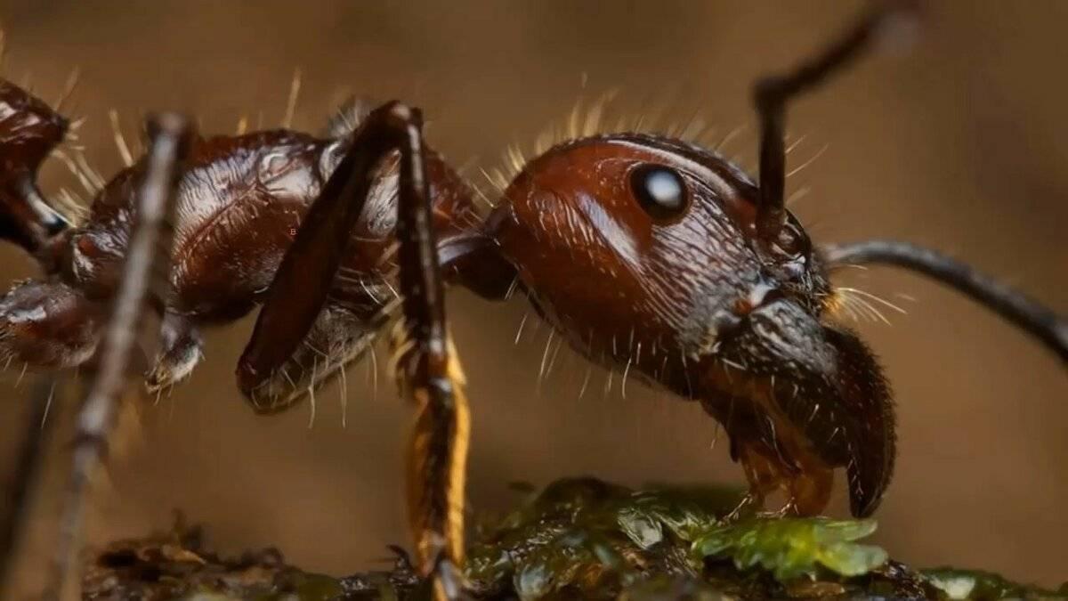 О муравьях-пулях: обыкновенная жизнь необычных насекомых