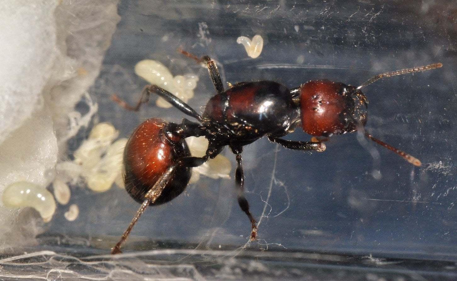 Описание и фото матки муравьёв