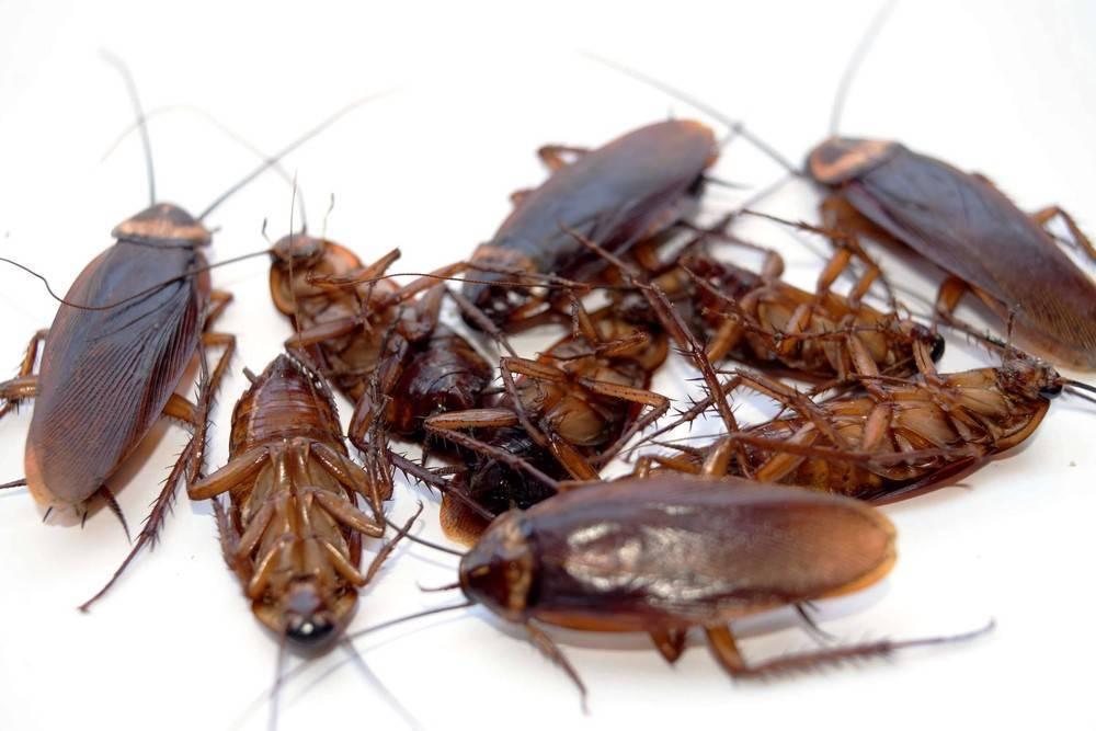 Какие средства от тараканов выбрать, чтобы избавиться от них навсегда