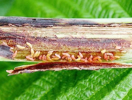 Вредители малины - описание, борьба, признаки, методы и способы профилактики (125 фото)