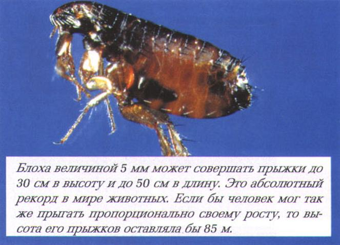 Сколько живут блохи и сколько у них крыльев — интересные факты. описание и фото различных видов блох
