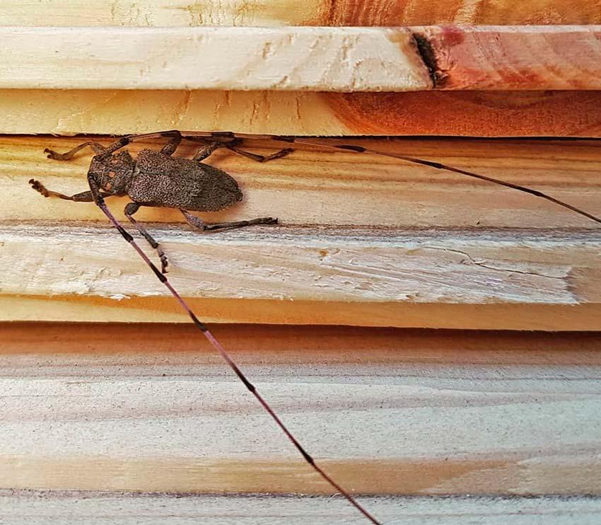Древесный жук в деревянном доме. шашель или жук — древоточец: фото насекомого, как распознать присутствие и как от него избавиться. распознаем врага: что нужно знать