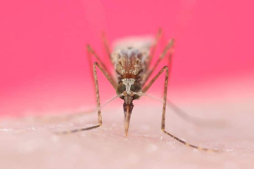 Сколько живет комар обыкновенный, продолжительность жизненного цикла