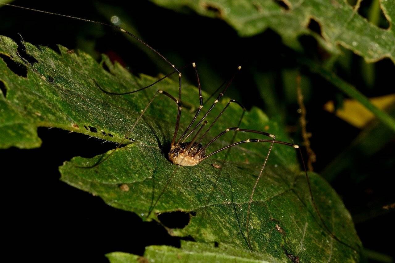 Паук сенокосец — внешний вид и образ жизни паука с длинными ножками