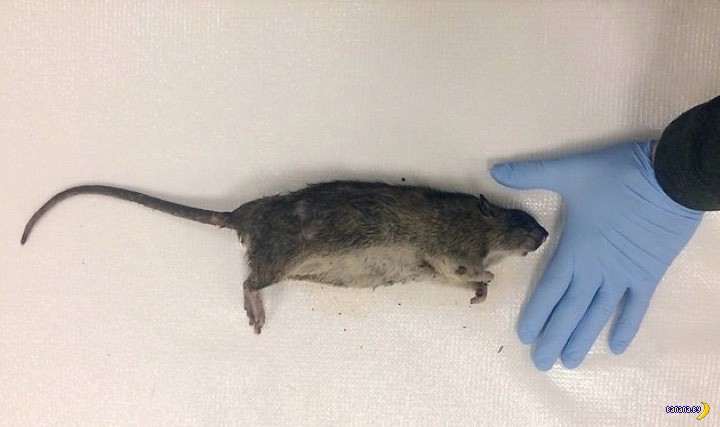Самая большая крыса в мире: фото огромных представителей, достигающих гигантских размеров