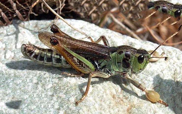 Кобылка сибирская – враг сельских полей на востоке россии. саранча насекомое. образ жизни и среда обитания саранчи