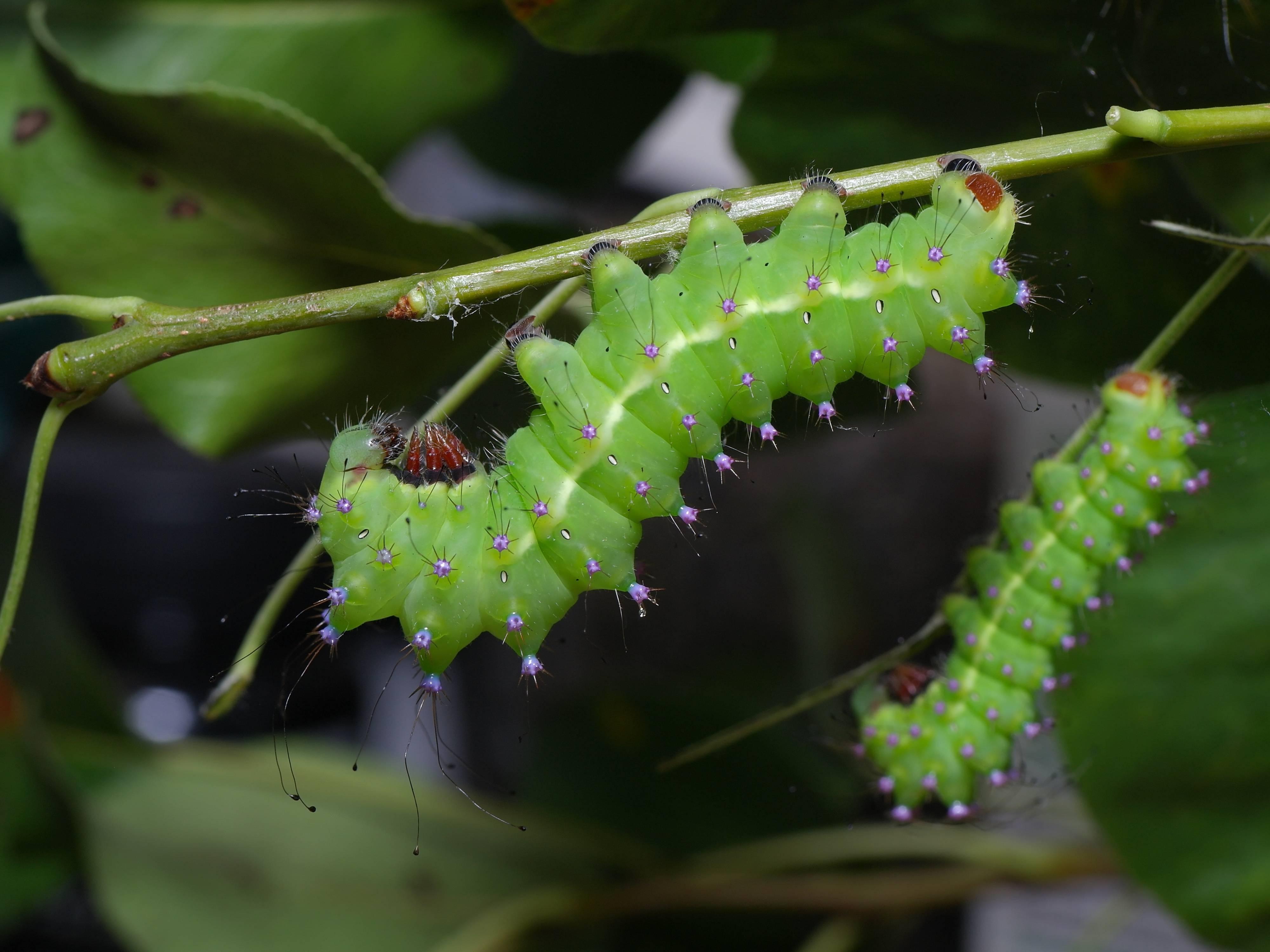 Бабочка павлиний глаз: содержание бабочки в домашних условиях