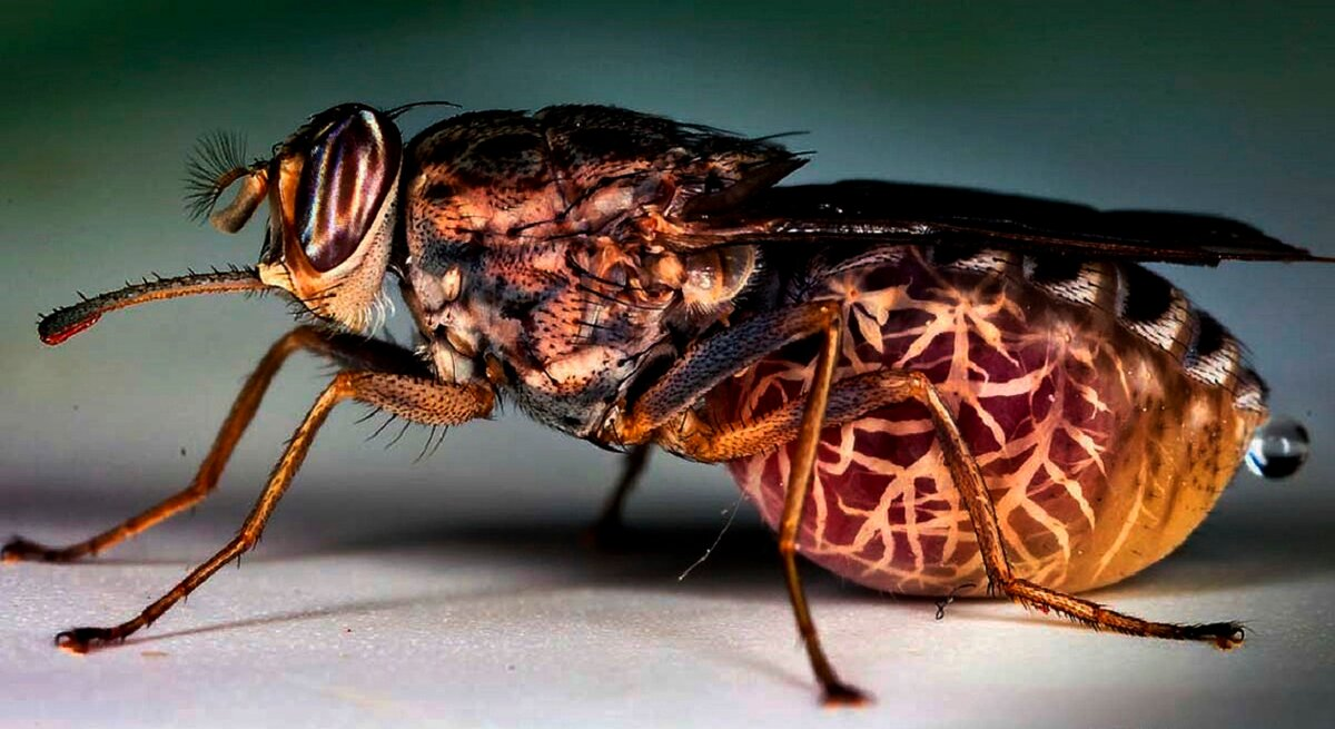 Муха цеце или цц: как выглядит, где обитает, чем опасен её укус, болезни