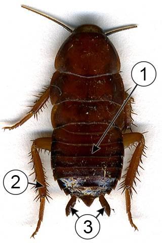 Сколько ног у таракана? виды тараканов: названия, фото, строение