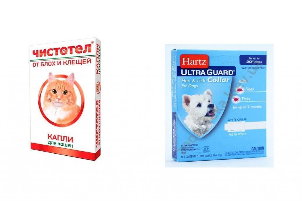 Власоед у кошек: фото, причины, симптомы, лечение