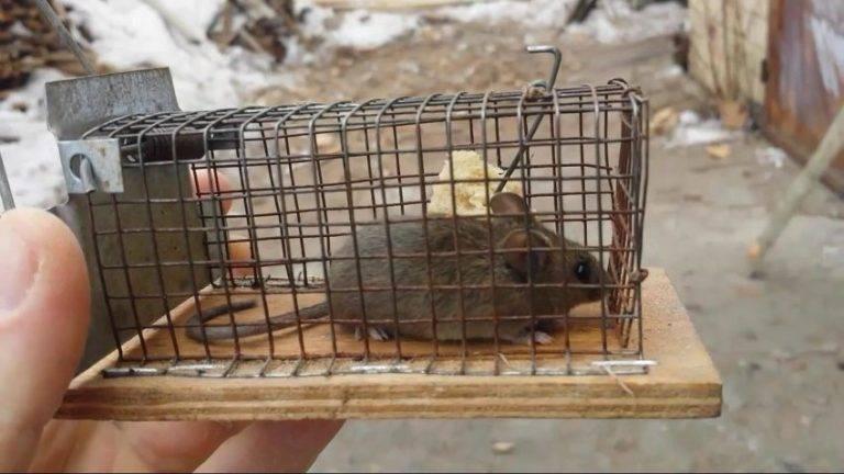 Крысоловка своими руками: как сделать ловушку, капкан для крыс