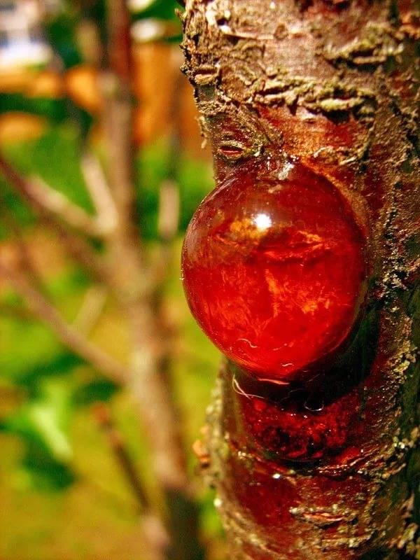 Как избавиться от муравьев на вишневых деревьях
