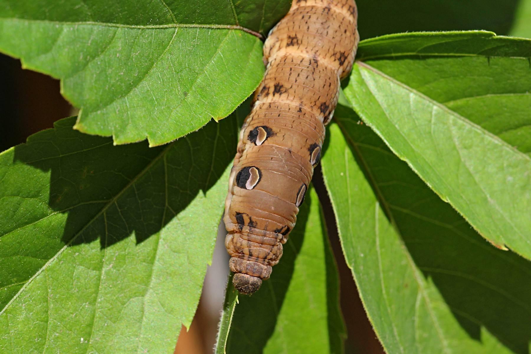 Виды гусениц и их названия. мохнатые гусеницы (пушистые)