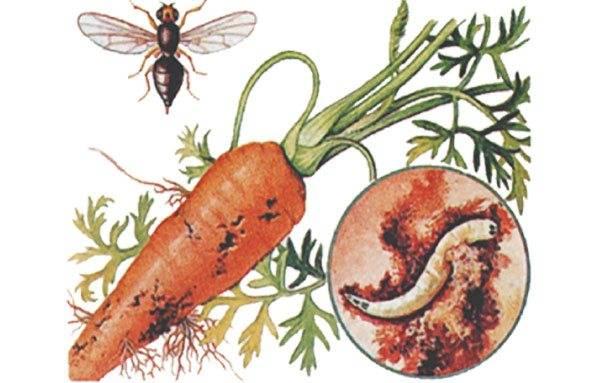 Морковная муха: фото, как с ней бороться (народные средства и химия)
