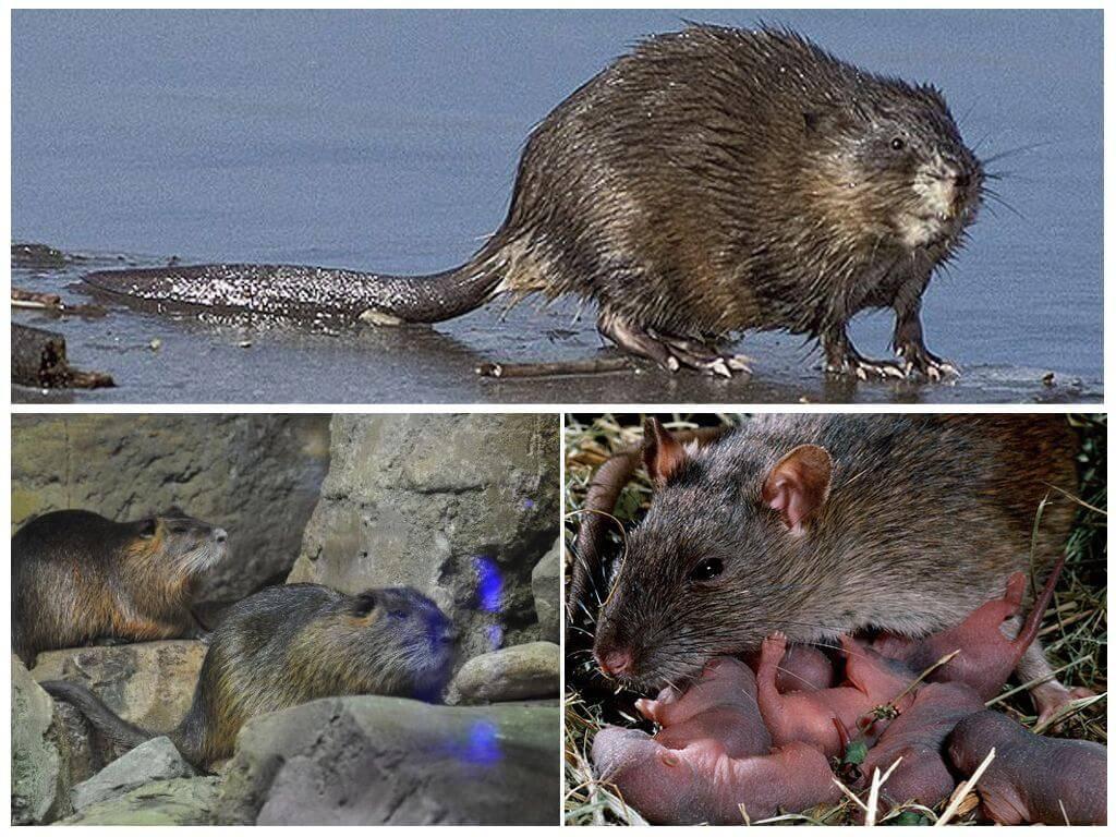 Водяная крыса (полевка): где обитает, чем питается - народные методы борьбы