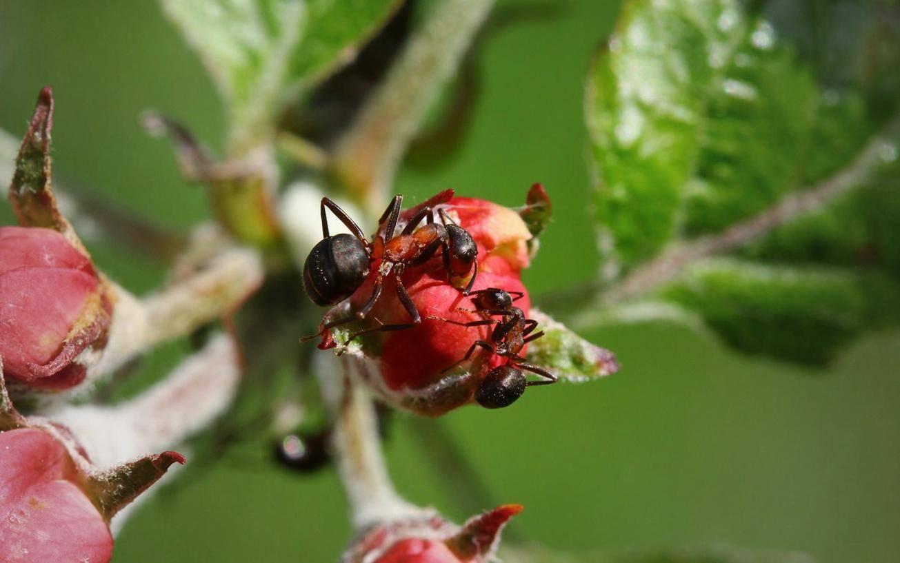 Способы избавления от муравьев на вишне