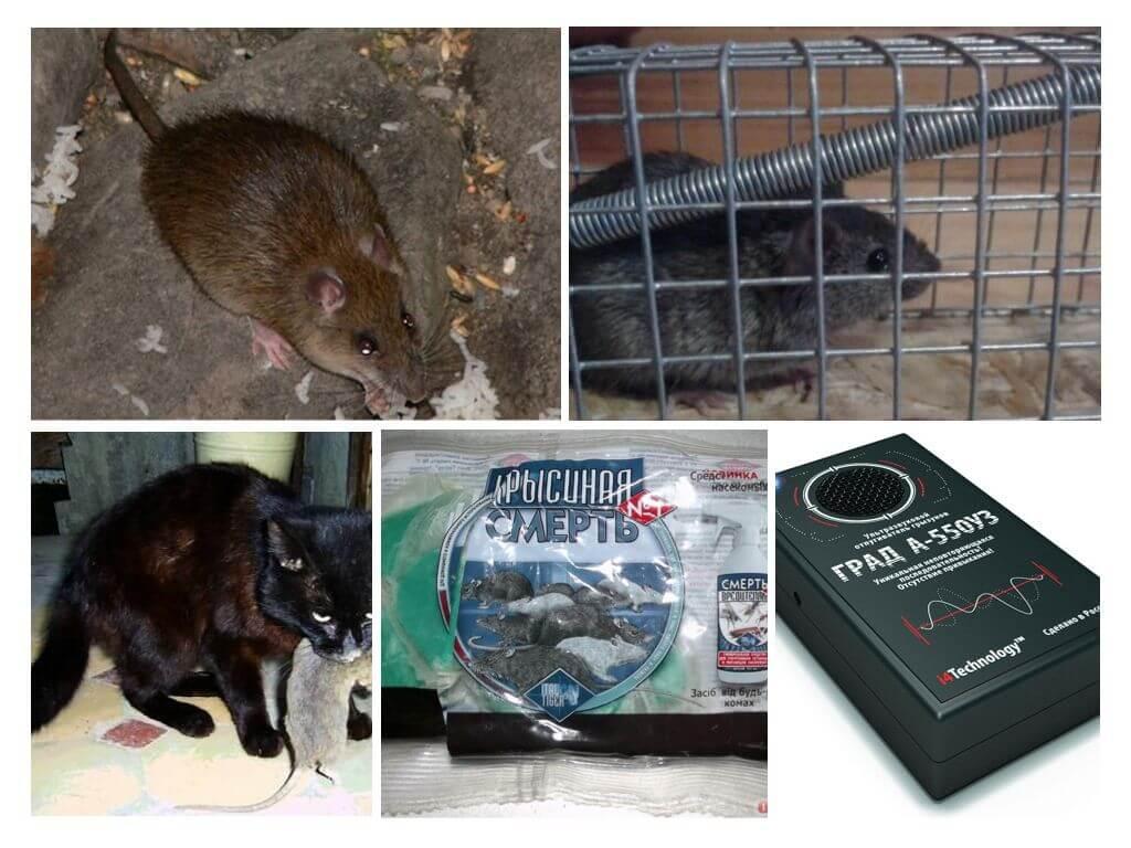 Чем лучше вывести крыс в курятнике: безопасной химией или народными средствами