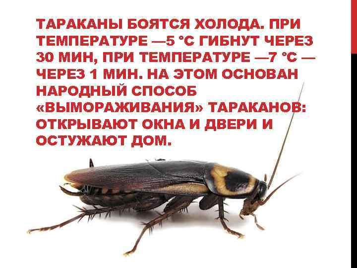 При какой температуре погибают тараканы вся правда
