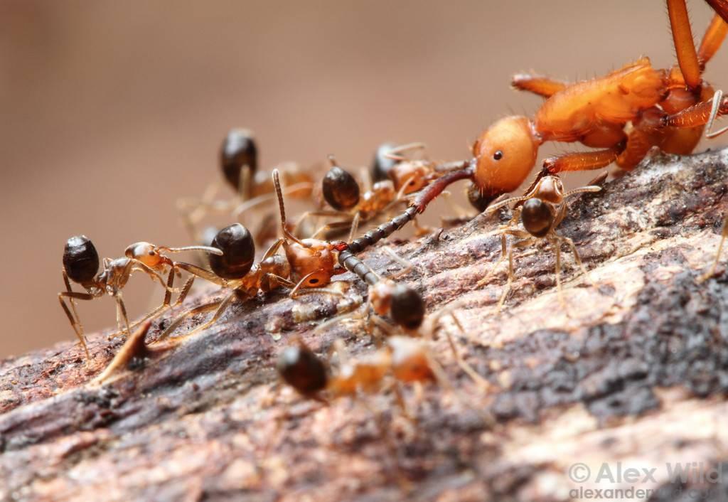 Продолжительность жизни муравьев в разных условиях существования