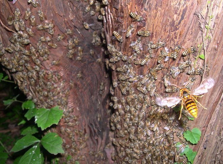 Виды шершней с описанием и фото: обыкновенный, желтый, сибирский, лесной и другие виды