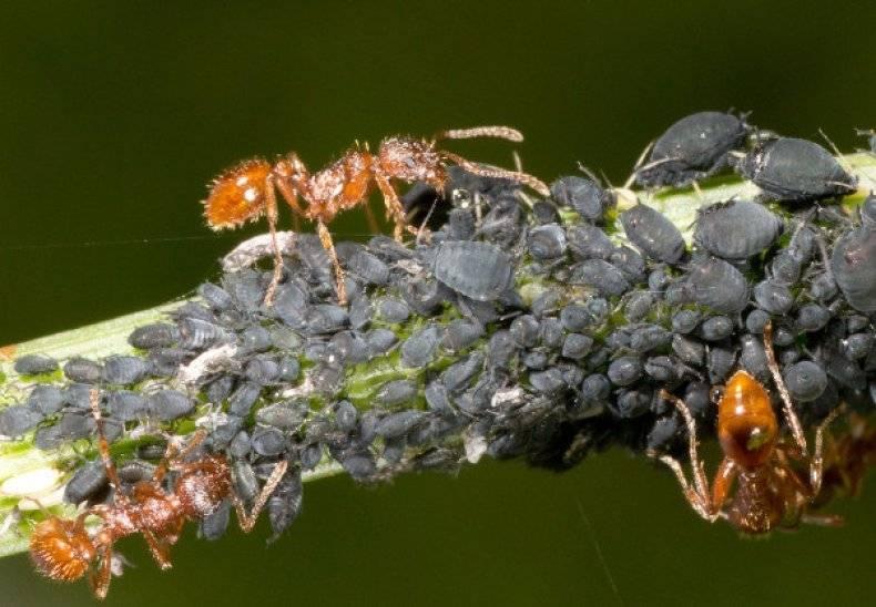 Как избавиться от тли на деревьях, эффективные средства борьбы