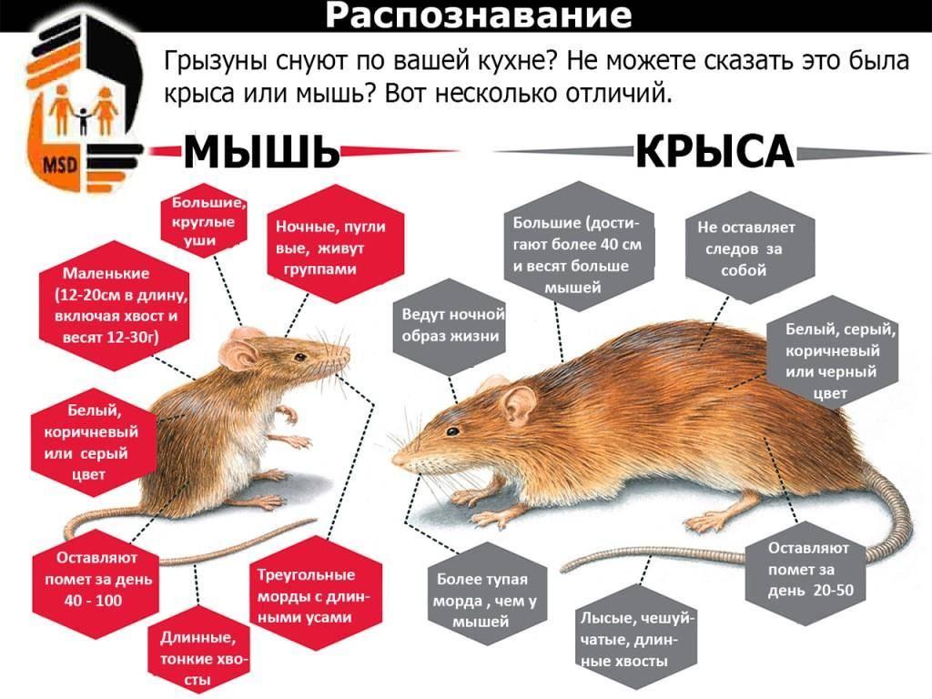 Белая крыса: «подопытный кролик» или домашний любимец?