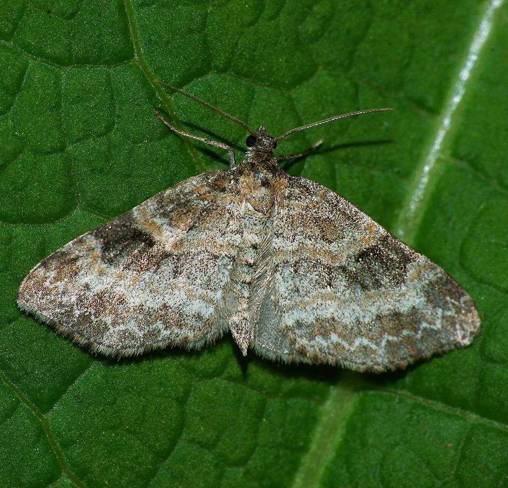 Бабочка пяденица: описание, фото