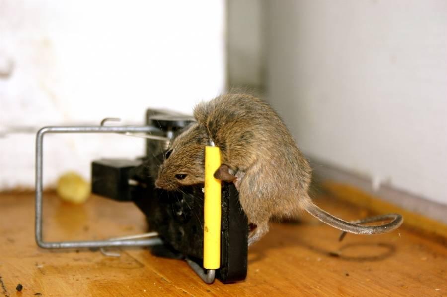 Как избавиться от крыс в квартире