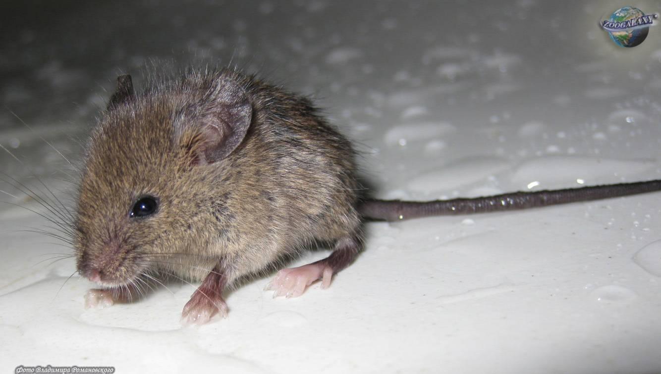 Описание черной мыши, ее поведения, чем грозит появление мышей в доме 2021