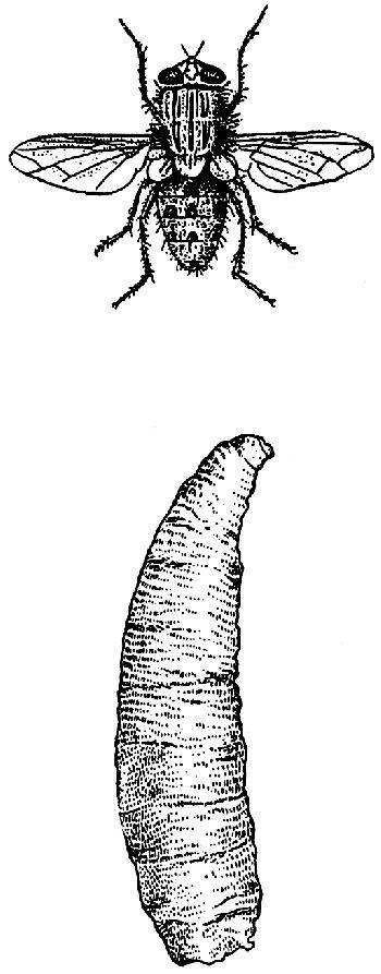 Миазы у человека и животных: назальный, кожный, в носу, кишечный и тканевый