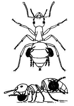 Лосиный клещ – фото и описание