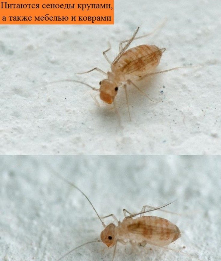 Неприятное соседство: жук кожеед поселился в доме