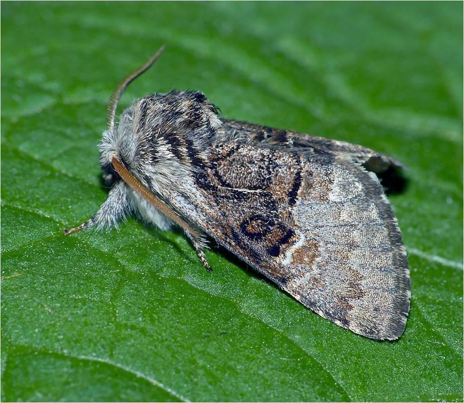 Бабочки – вредители семейства совок: хлопковая и металловидка-гамма