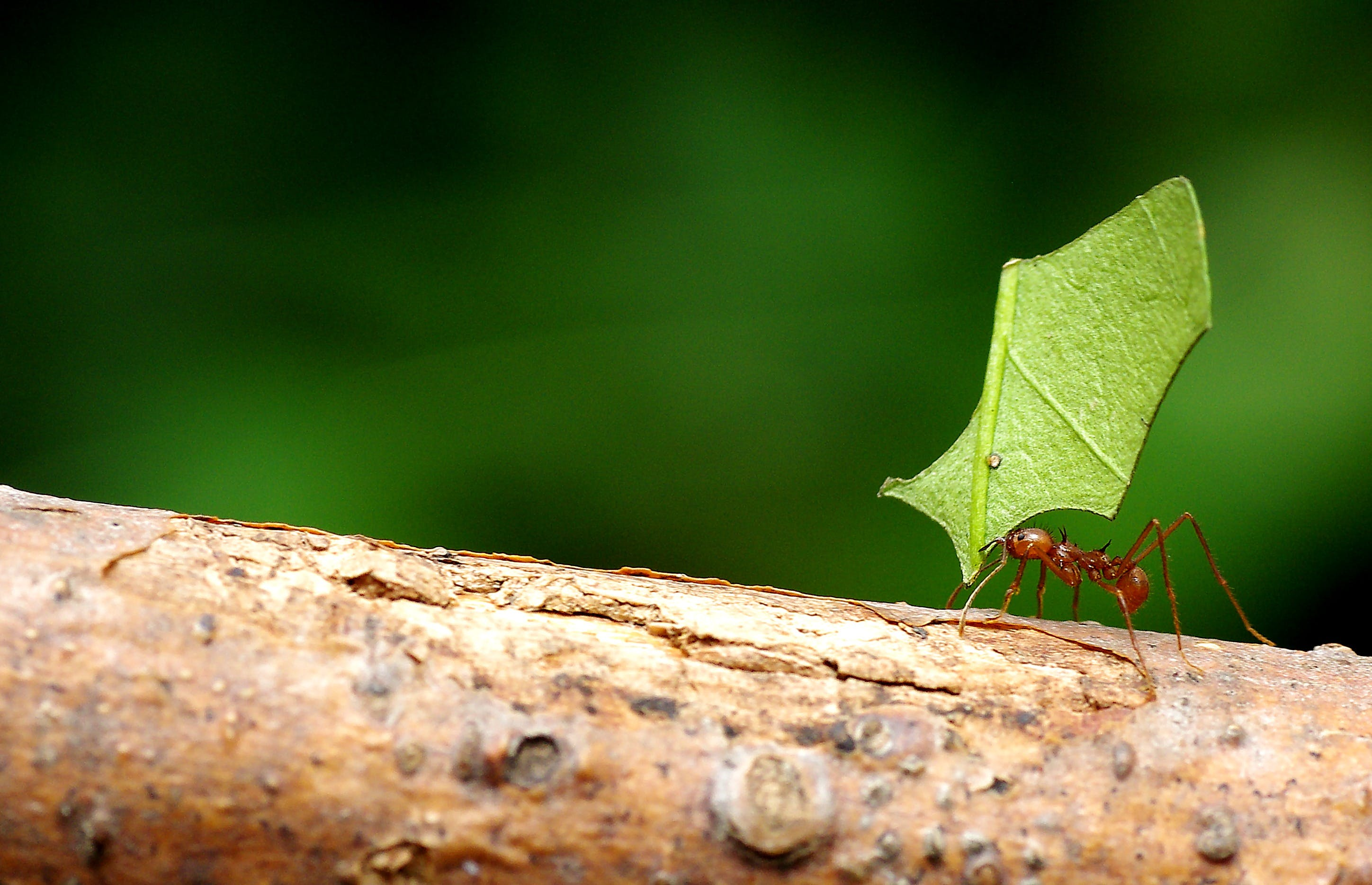 Листорезы муравьи: описание и фото