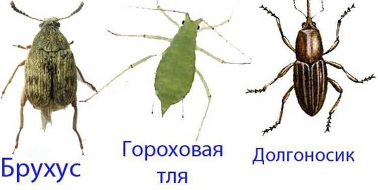 Как уничтожить бобовую и гороховую тлю - дневник садовода parnikisemena.ru