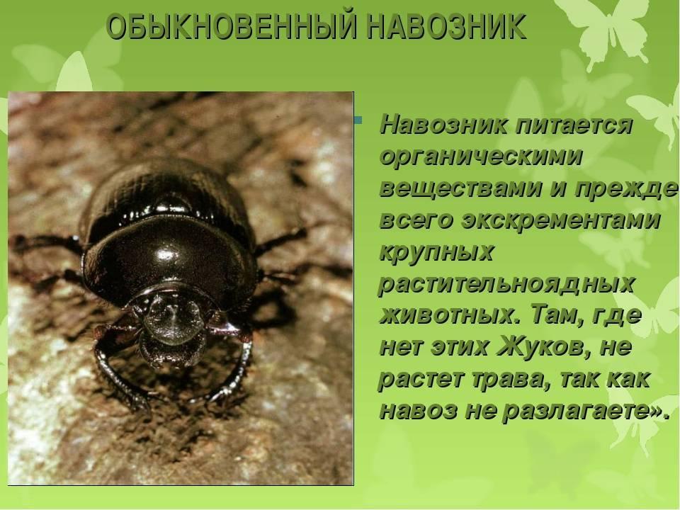Вор-налётчик. почему жук-навозник тот ещё привереда. новости общества