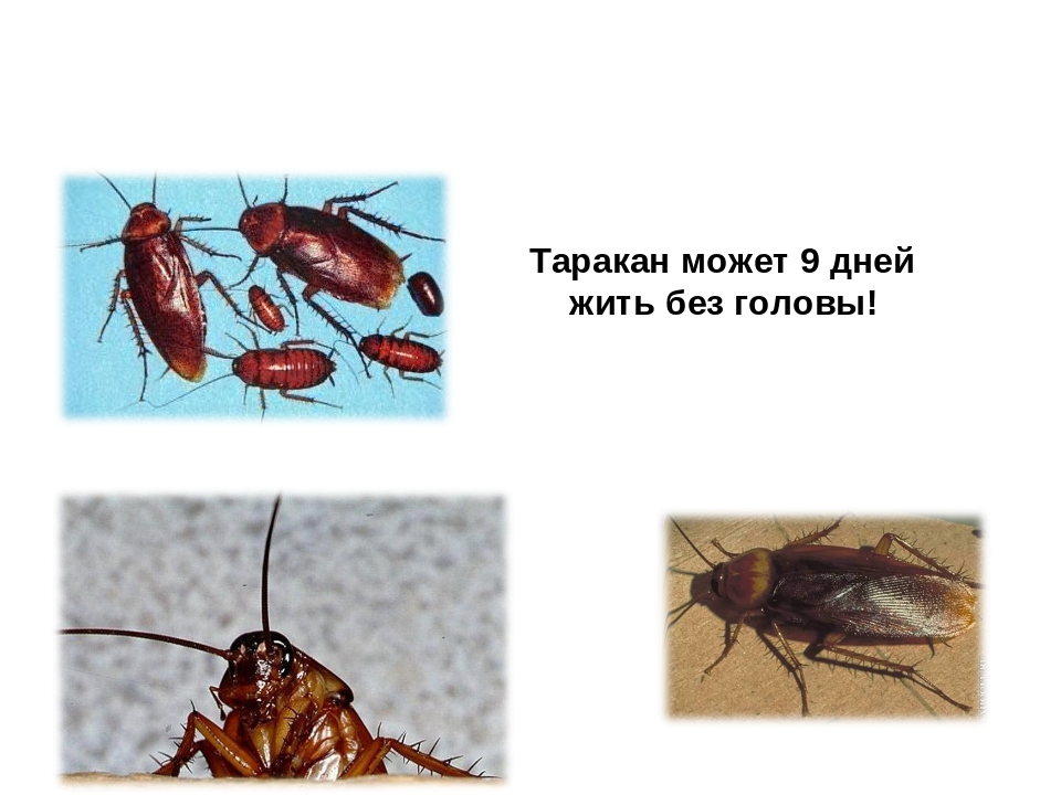 Сколько живут тараканы домашние без еды и воды?