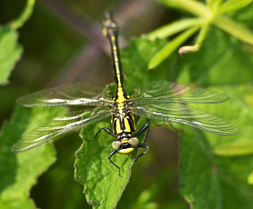 Стрекоза - 99 фото очень красивого летающего хищного насекомого