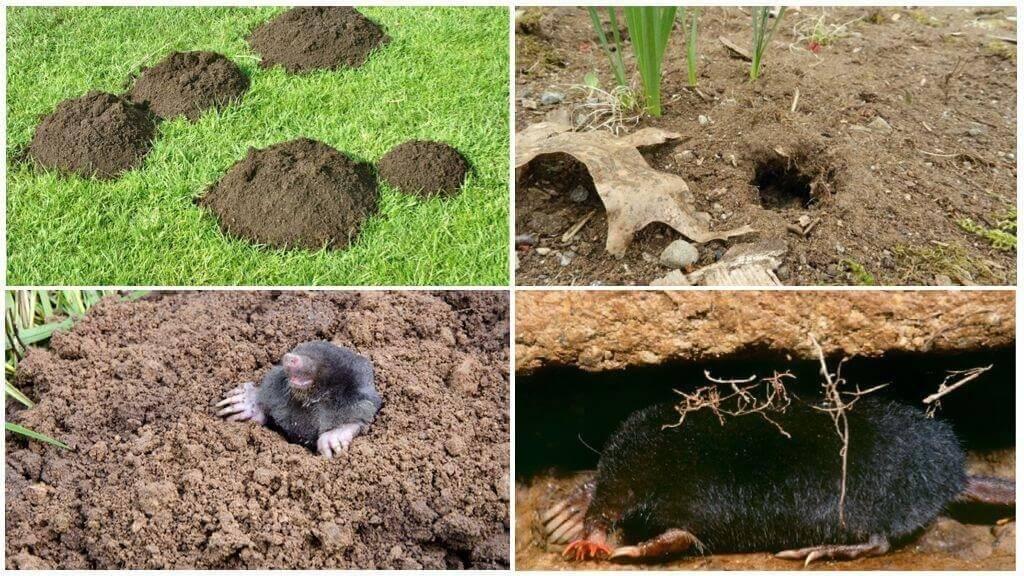 Как избавиться от земляной крысы