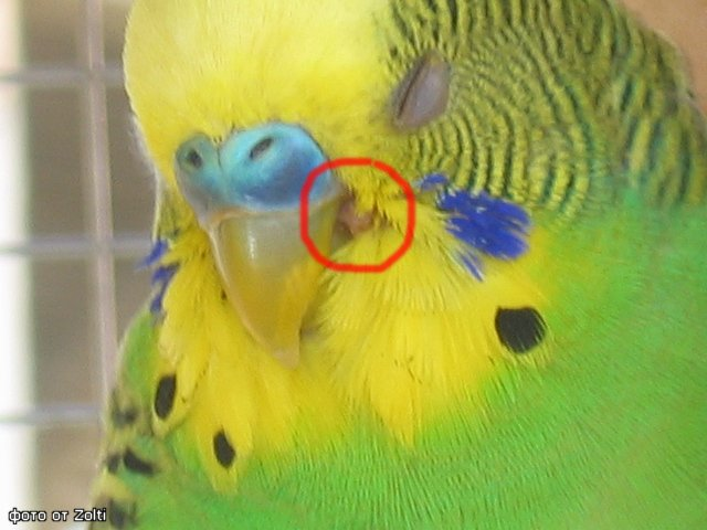Клещ у попугаев: чесоточный, трахейный, очинный, перьевой - лечение (фото)