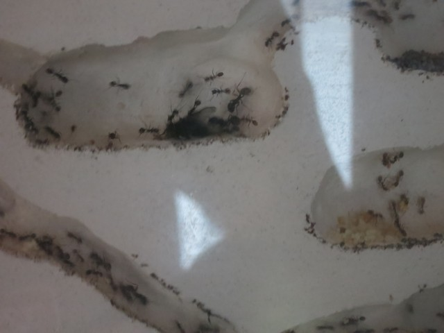 Муравьи в пеноплексе и пенопласте