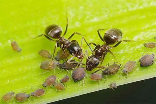 Есть ли крылья у рыжего муравья. откуда берутся муравьи с крыльями