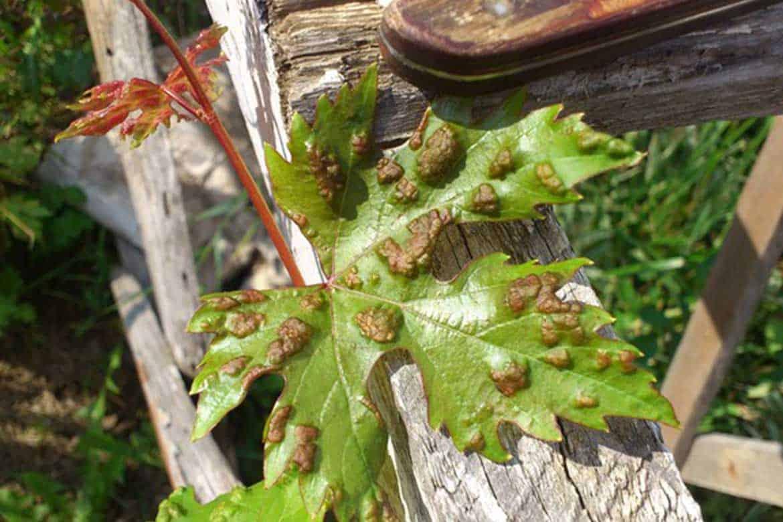 ❶ паутинный клещ на винограде: как бороться, препараты, отзывы