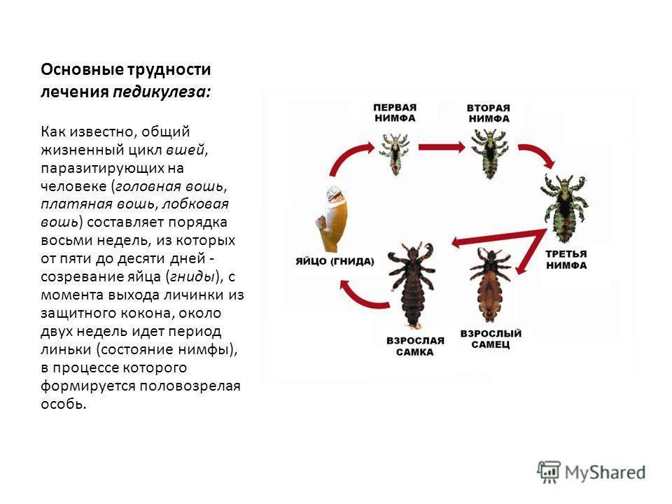 Как размножаются вши и как от них избавиться?