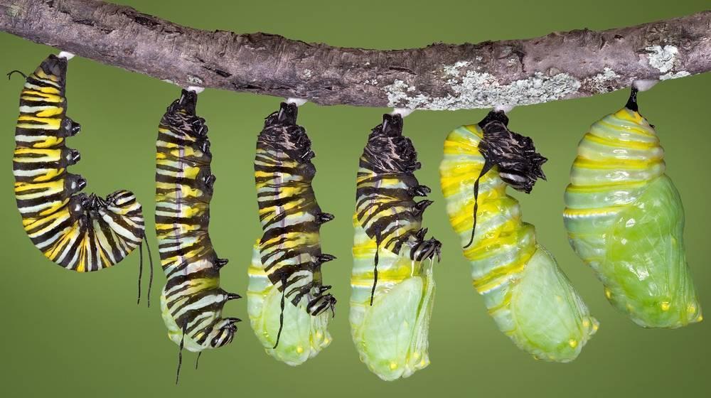 Тайна превращения гусеницы в бабочку больше не секрет! но процесс шокирует!. обсуждение на liveinternet