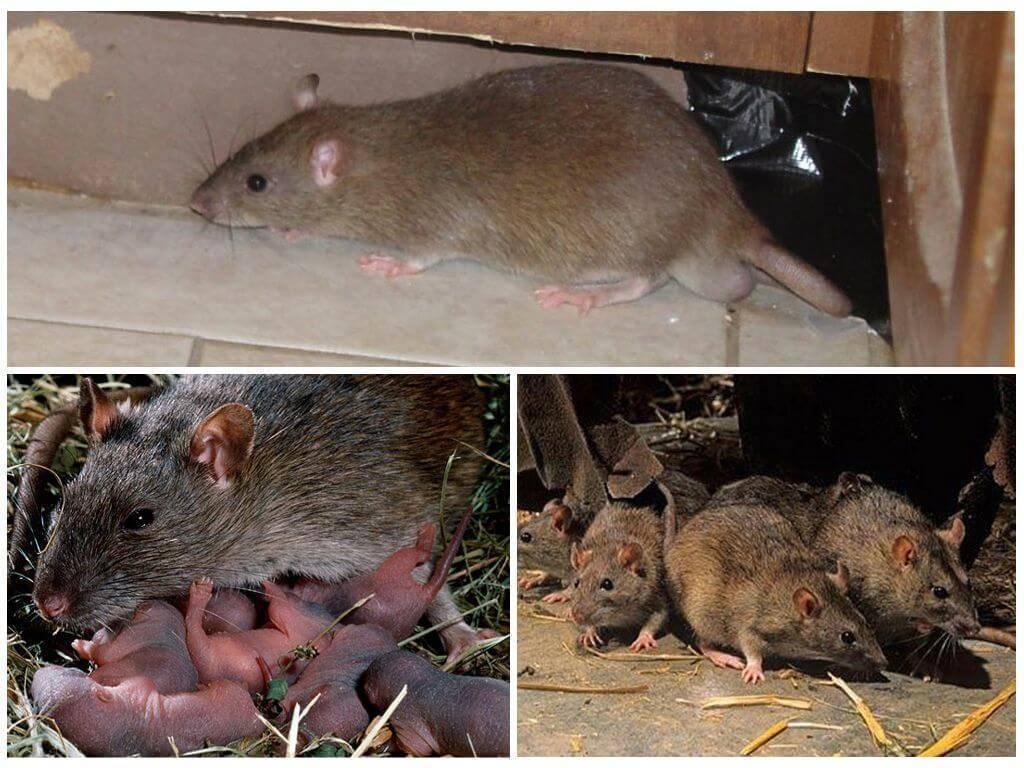 Сколько живут декоративные и ручные крысы