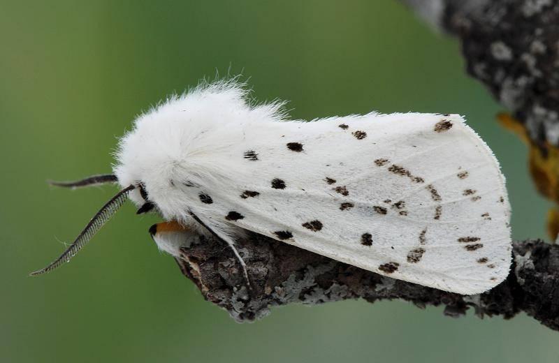 Чем опасна американская белая бабочка и как уберечь от нее свой участок? новый способ борьбы с американской белой бабочкой и ее гусеницами - чудо-огород американская бабочка методы борьбы